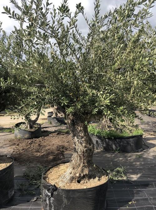 Oliviers en destockage / olivier pas cher olivier 0005