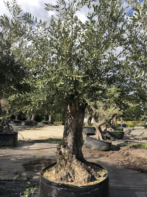 Oliviers en destockage / olivier pas cher olivier 0007