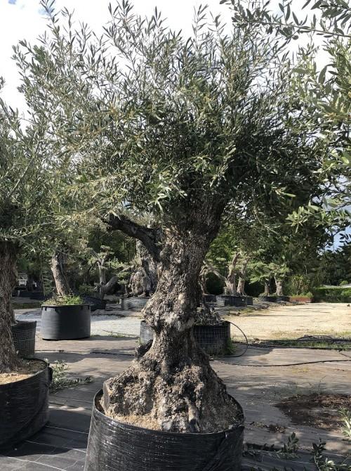 Oliviers en destockage / olivier pas cher olivier 0008
