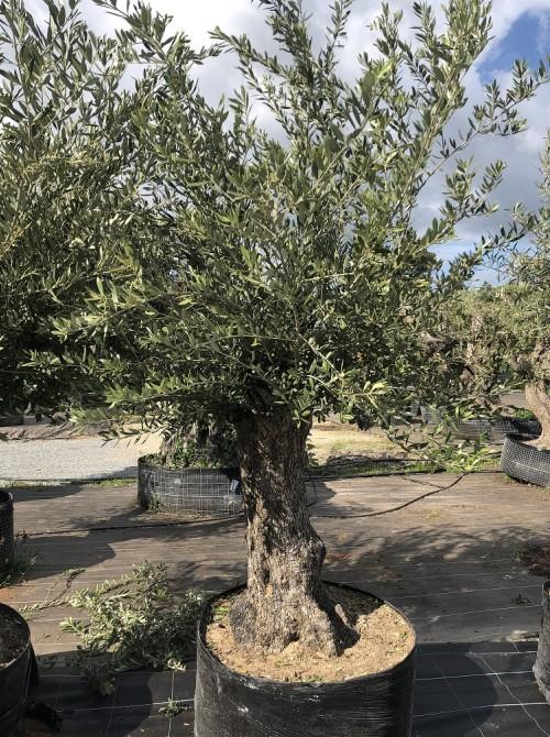 Oliviers en destockage / olivier pas cher olivier 0009