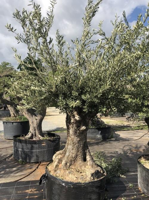 Oliviers en destockage / olivier pas cher olivier 0010