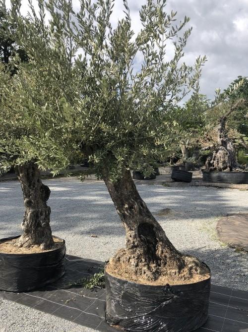Oliviers en destockage / olivier pas cher olivier 0011