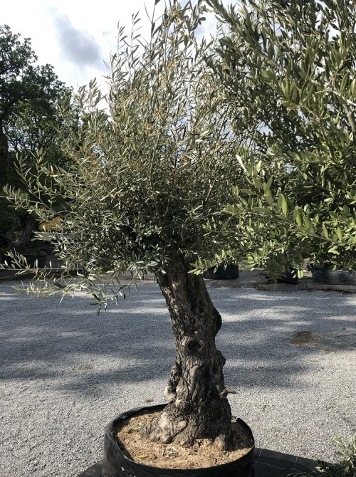 Oliviers en destockage / olivier pas cher oléa 0012