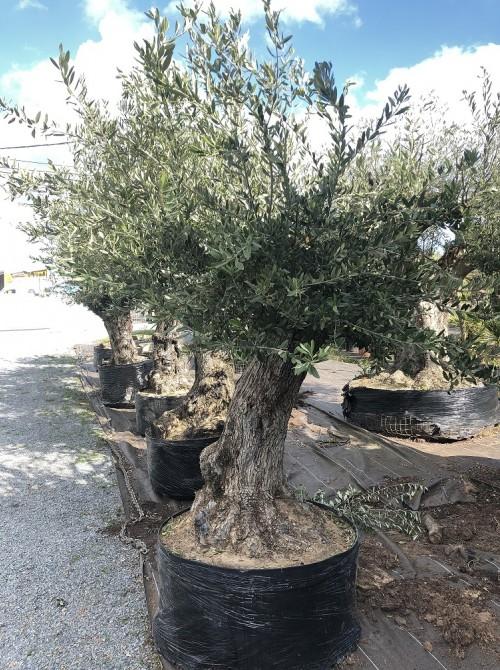 Oliviers en destockage / olivier pas cher olea 0013