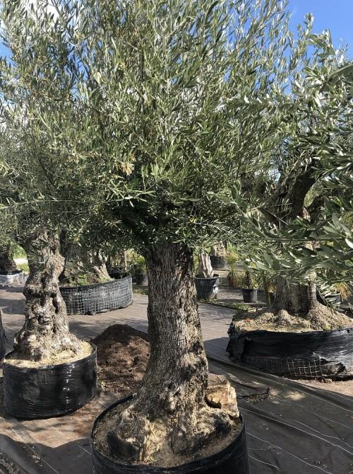 Oliviers en destockage / olivier pas cher olea 0014