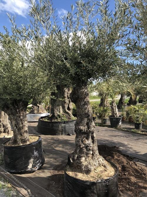 Oliviers en destockage / olivier pas cher olea 0015
