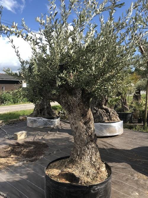 Oliviers en destockage / olivier pas cher olea 0017