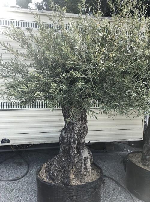 Oliviers en destockage / olivier pas cher olea 0018