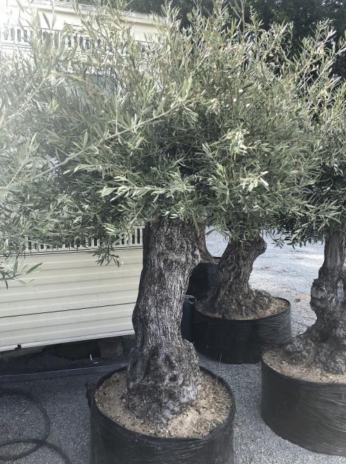 Oliviers en destockage / olivier pas cher olea 0019