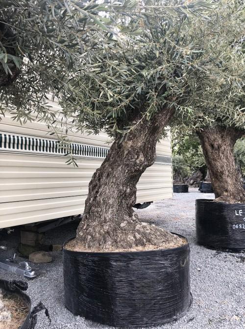 Oliviers en destockage / olivier pas cher oléa 0021