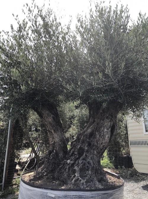 Olivier décoratif et d'ornement olivier double