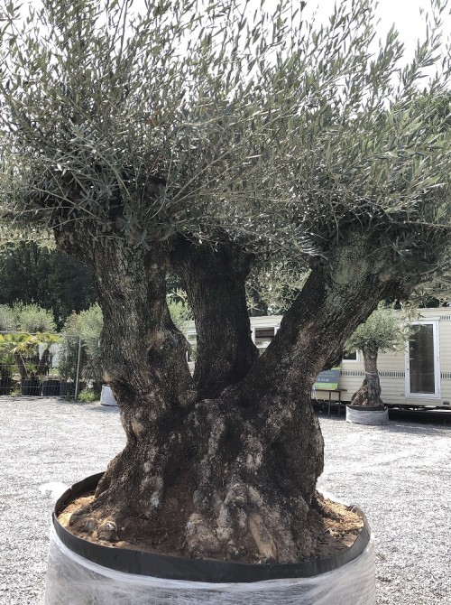 Olivier décoratif et d'ornement olivier 3 troncs