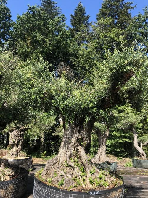 Oliviers Multi-centenaires & Millénaires oliviers tri-centenaires