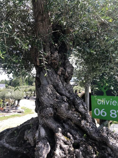 Oliviers Multi-centenaires & Millénaires olivier rennes splendide