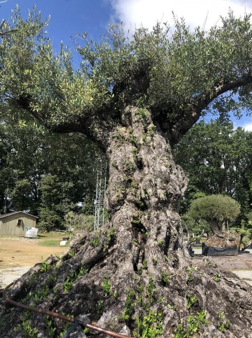 Oliviers Multi-centenaires & Millénaires olivier loire- atlantique