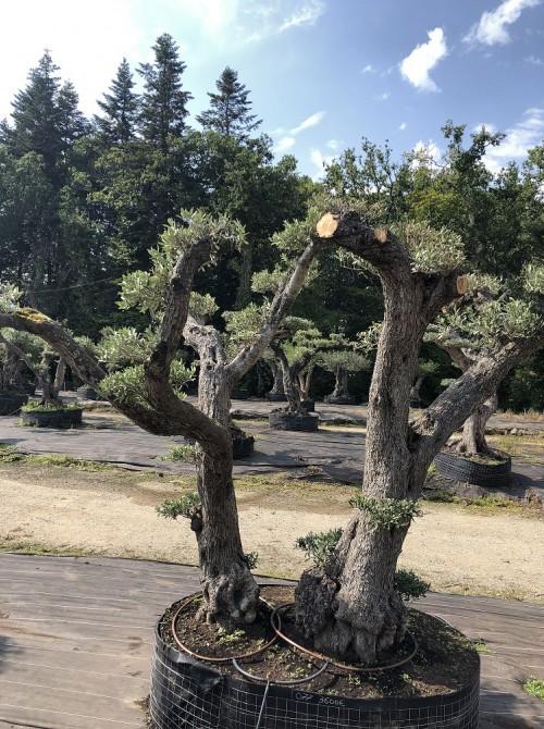 oliviers plateau ou olivier nuage niwaki olivier larmor-plage 56