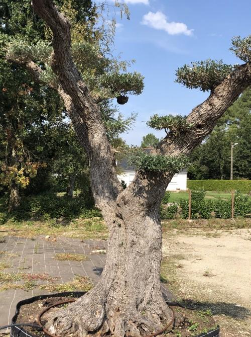 oliviers plateau ou olivier nuage niwaki Olivier centenaire taille Niwaki de Londres