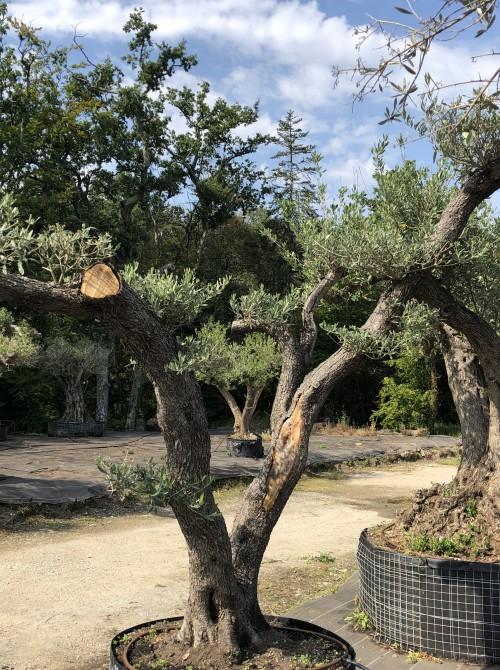 oliviers plateau ou olivier nuage niwaki olivie 084