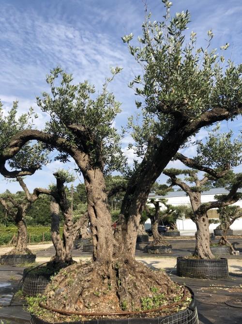 Oliviers Multi-centenaires & Millénaires olivier faga bi-centenire