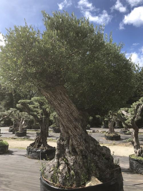 Oliviers Multi-centenaires & Millénaires olivier Lechin
