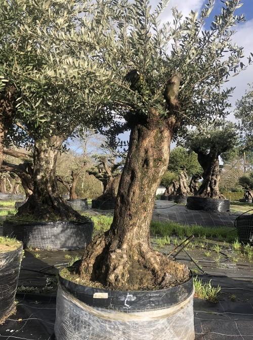 Oliviers en destockage / olivier pas cher olivier 0006