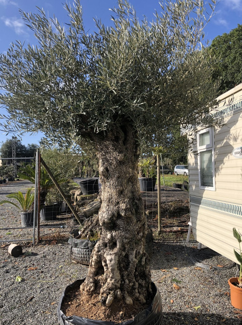 Oliviers Centenaires Traditionnels olivier tronc haut