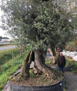 olivier millénaire séculaire