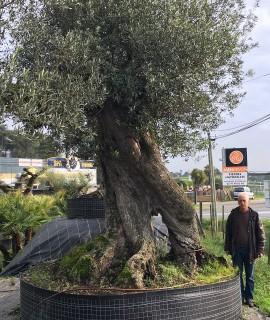 oliviers millénaires