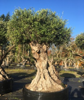 vente olivier centenaires morbihan vannes bretagne 56 france acheter un arbre autrement. Black Bedroom Furniture Sets. Home Design Ideas