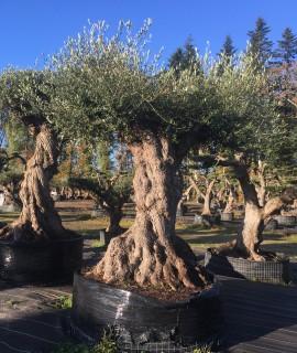 oliviers multicentenaires