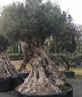 olivier multi-centenaires vannes