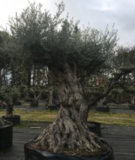 olivier muticentenaire