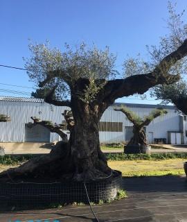 olivier millénaire forme libre