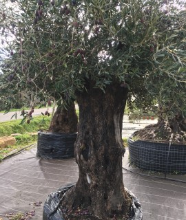 olivier centenaire- 150 ans