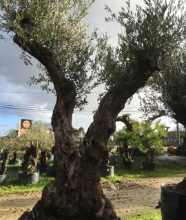 olivier Farga double tronc