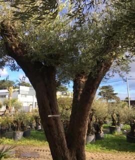 oliviers centenaires jardin ou terrasse