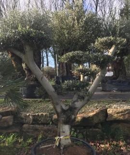 olivier plateau, nuage ou niwaki