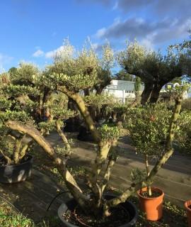 olivier niwaki