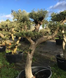 olivier  nuage pas cher