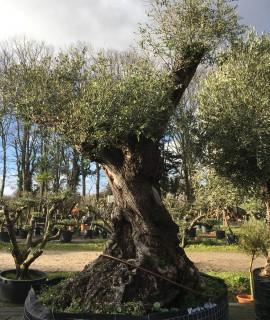 olivier variété Lechin