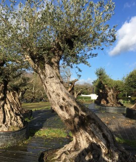 olivier 250 ans tronc 1mètre 90
