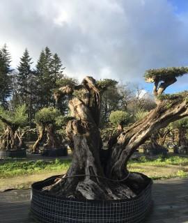 olivier sculpture milénaire