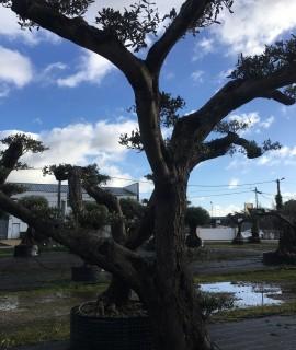 Olivier nuage Niwaki de 100 ans