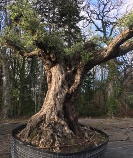olivier tri-centenaire