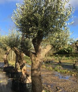 vente d'olivier Rennes