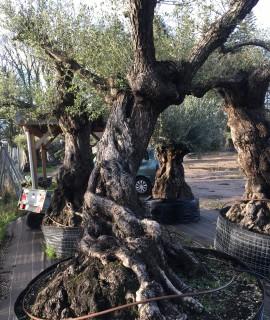 Achat d'olivier ancien multi-centenaire