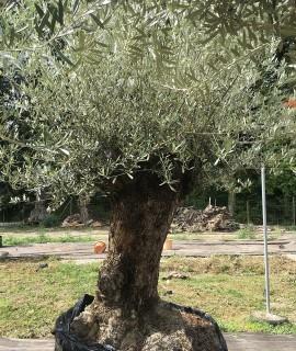 olivier Aulnais-sous bois