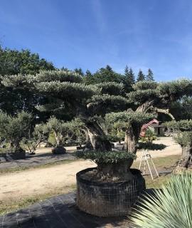 olivier avec de jolis plateaux