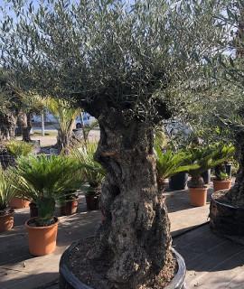 olivier 115
