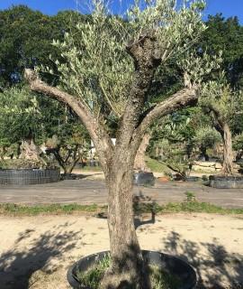 olivier I
